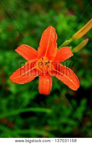 single orange tiger lily garden flower fragrant