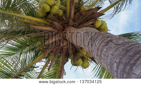 Coconut tree with group of green ripe coconuts hanging under the big green leafs