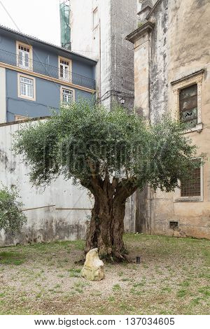 Allegedly millenary olive tree in the garden of a church in Coimbra, Portugal