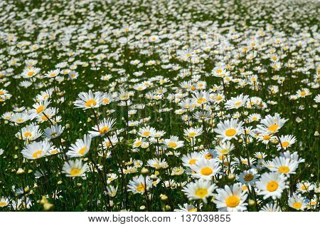 The field of daisies on a Sunny day.