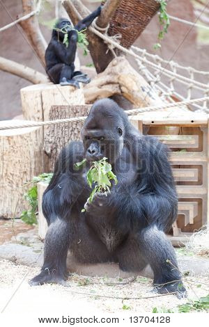 Gorilla In The Aviary