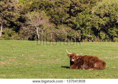 closeup of highland cow resting in paddock