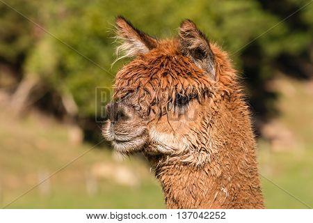 isolated brown suri alpaca head on farm