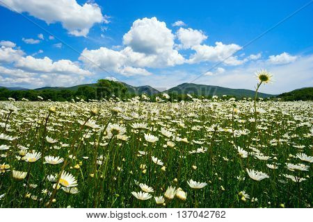 The field of daisies at the foot of the mountains on a Sunny day.