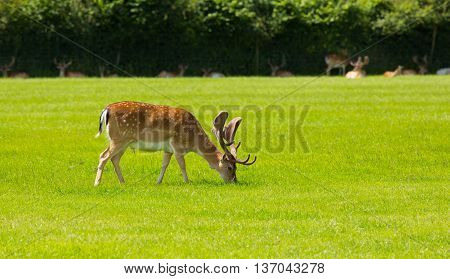 Red deer English countryside New Forest Hampshire southern uk
