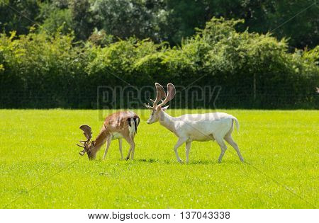White deer and red deer the New Forest England UK