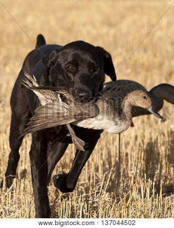 A hunting dog with a Pintail Duck