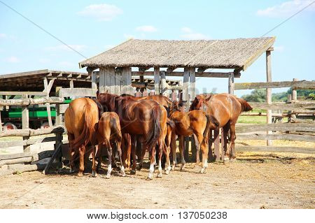 Herd Of Horses Eating Dry Hay In The Summer Corral