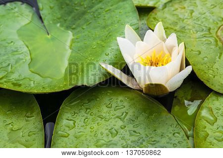 Beautiful white and yellow water lilly in a little pond