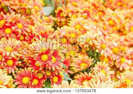 Orange Chrysanthemum Flowers In Garden