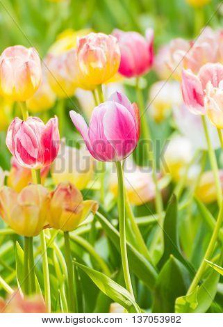 Pink Tulip Flower In Garden
