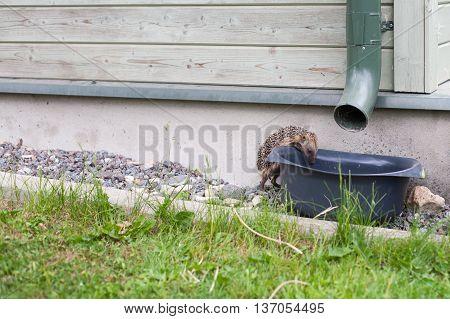 European hedgehog drinking rain water from a bucket