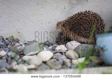 European hedgehog carefully walking in the garden beside a house