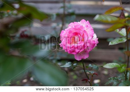 Hot pink rose blooming in the garden