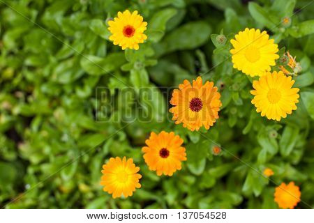 Summery yellow and orange calendula blossoms in the garden