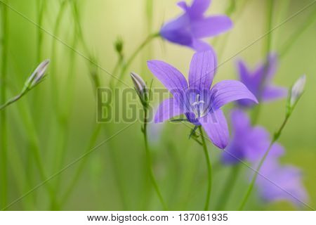 Summer background with blooming campanula patula or spreading bellflower, soft focus.