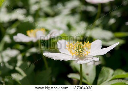 White wood anemone (Anemone nemorosa) in flower.