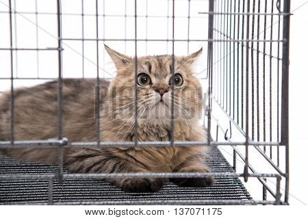 Cute tabby cat looking in a cage on white background isolated