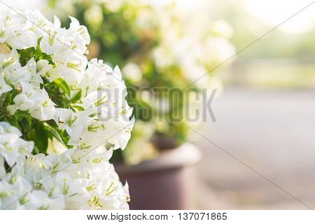 Close up White blooming bougainvilleas on background