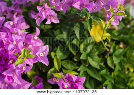 Close up Pink blooming bougainvilleas on background