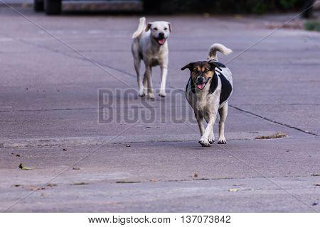 thai stray dog running on street , pet