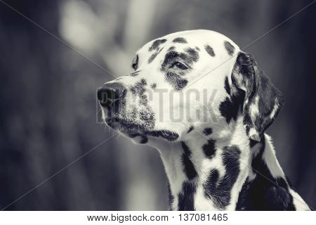White and black toned portrait of a cute dog dalmatian -- selective focus (eyes and nose)