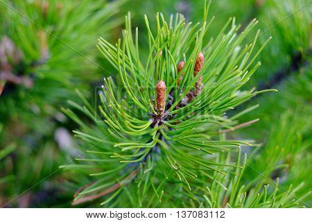 Pine Branch, Background