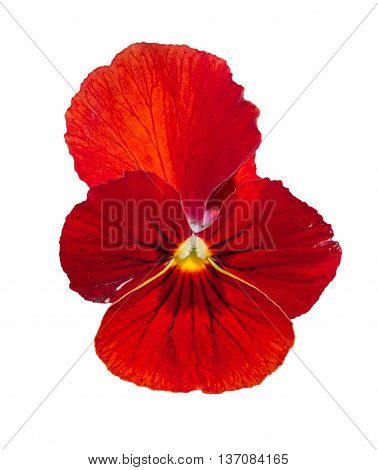 Viola Red Pansy Flower Isolated On White