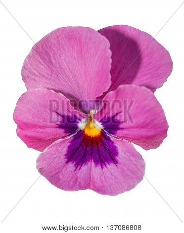 Viola Purple Pansy Flower Isolated On White