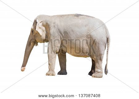 Elephant Standing Isolated On White Background.