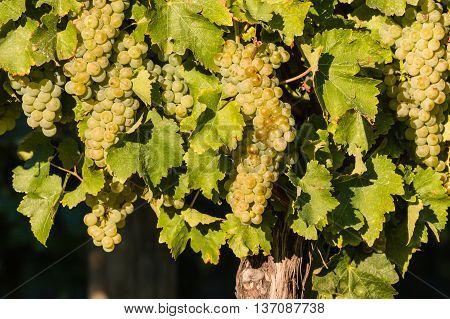 closeup of ripe riesling grapes in vineyard