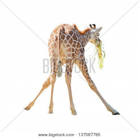 Large Giraffe  Leaned Over To Pick Up A Branch