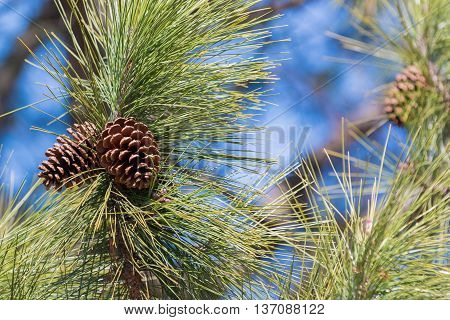 Branch Of Pine With Needles And Pine Cone