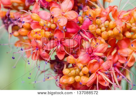 Beautiful Saraca Indica Flowers (saraca Indica L.) Close Up.