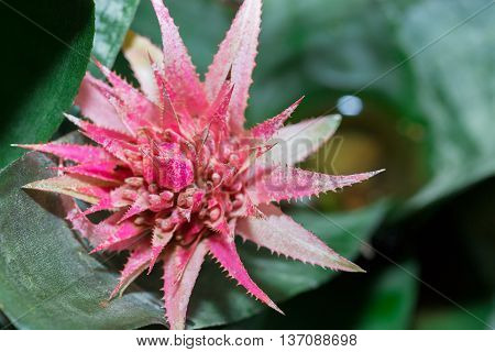 (vriesea Imperialis) Bromeliad Or Urn Plant (aechmea Fasciata).