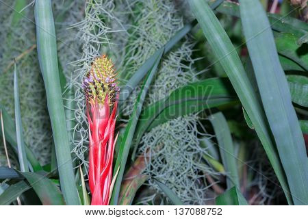 Bromeliad Or Urn Plant (aechmea Weilbachii) Kind Of Brazil Plants.