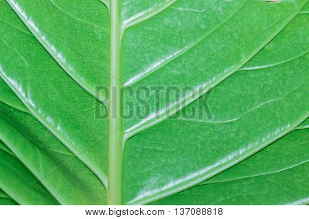 Green Leaf Macro Texture Background.