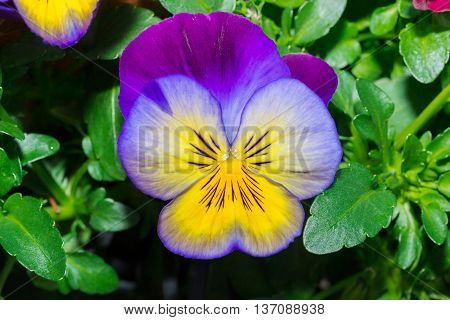 Viola Purple And Yellow Pansy Flower In Garden