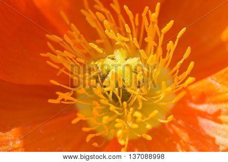 Close Up Of A Orange Iceland Poppy (scientific Name Papaver Nudicaule)