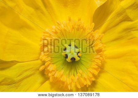 Close Up Iceland Poppy Flower(scientific Name Papaver Nudicaule)