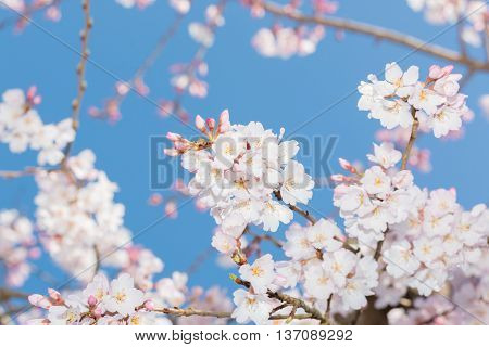 Beautiful Pink Cherry Blossom In Full Bloom.