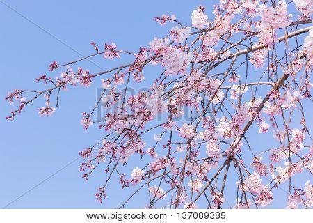 Beautiful pink cherry blossom in full bloom. japanese sakura.