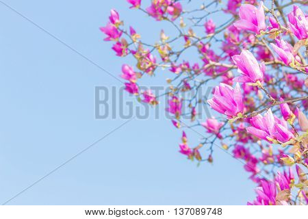 Beautiful Pink Flower With Blue Sky (scientific Name Pink Haze)