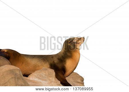 Sea Lion Sleeping On Large Stone Isolated On White