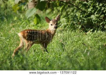 Roe Deer fawn in a meadow field looks into the camera