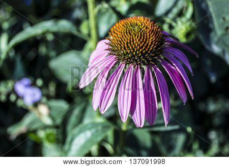 Flower Echinacea purpurea in the garden against the backdrop of greenery