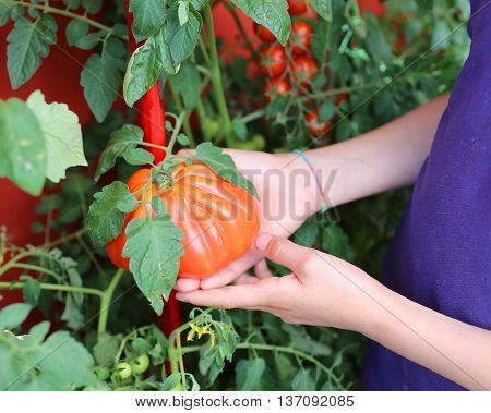 Child Hand Harvesting Tomatoes From An Urban Garden