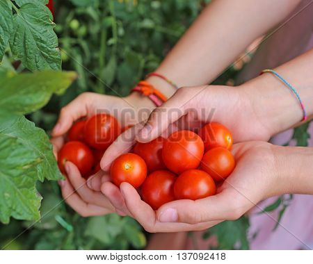 children with hands full of fresh tomatoes just harvested from the garden on the terrace