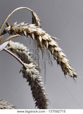 Corn crop, studio shot. Wheat or Rye plant.