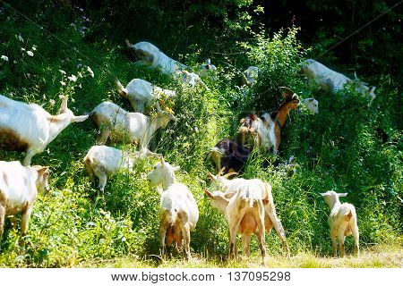 goat herd feeding on high wild grass in the woodland